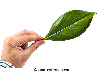 Man hand holding a green magnolia leaf isolated on white background