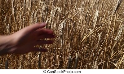Man hand holding ripe mature wheat ear spike - Man...