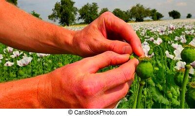 Man hand open flower bud of white poppy in field. Check of...