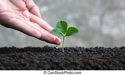 Man hand watering young plant. - Man hand watering young...