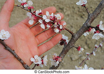 man hand with apricot flowers in the garden