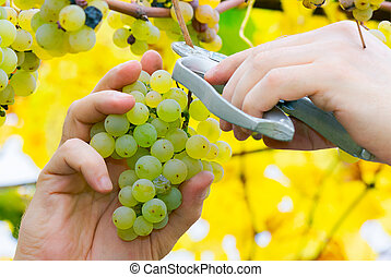 man hands cut the grapes. autumn harvesting scene. natural...