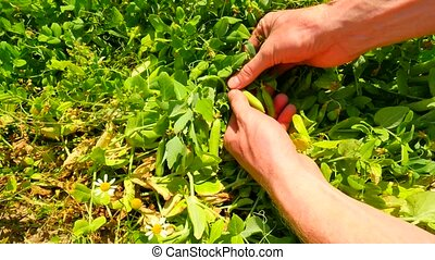 Man hands harvest sweet peas, opening green pea pods,...