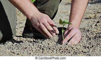 Man hands, holding seed tree for planting into soil .