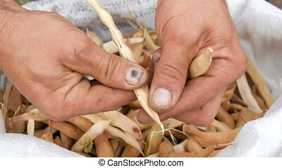 Man hands shelling beans white colour and pull it over a bag full of dry ripe beans close up view