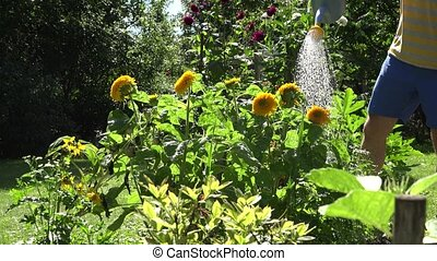 man hands with blue water can tool watering sunflower flower blooms in summertime garden.