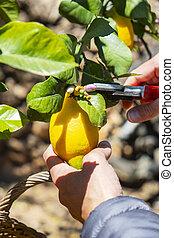 man harvesting lemons from a tree