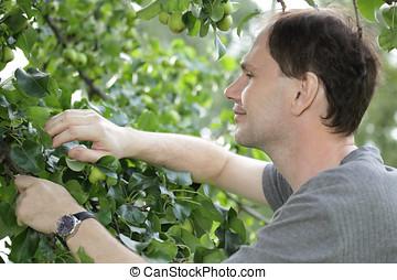 Man harvesting pears
