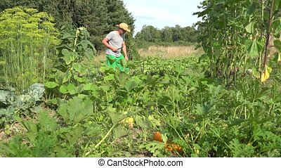 man harvesting zucchini with knife and carry vegetables in his garden. 4K