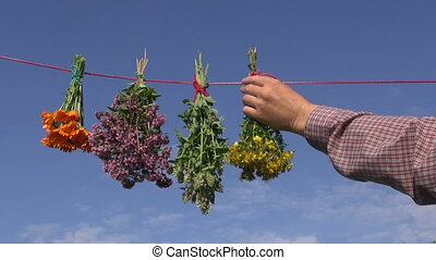 Man herbalist hanging bunches of various medical herbs - Man...