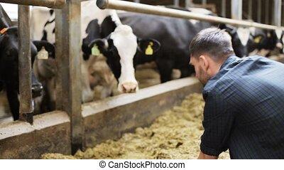man, het voeden, koien, met, hooi, in, koestal, op, melkveehouderij