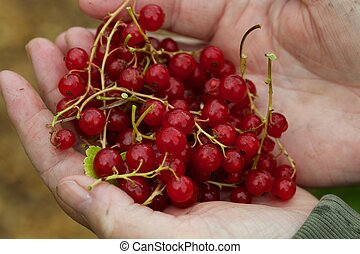 Man holding a handful of cranberries that have been just picked.