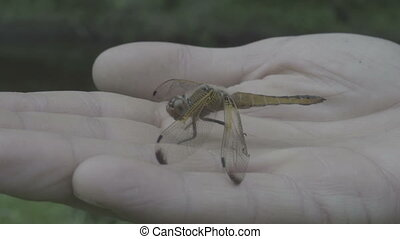 man holding dragonfly on his hand insect resting close up