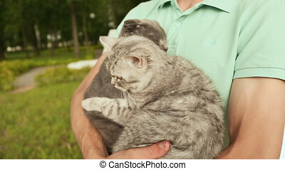 Man holding hands on the Scottish Fold cat and gray British cat