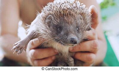 Man holding wild cute hedgehog in hands. Natural light. West...