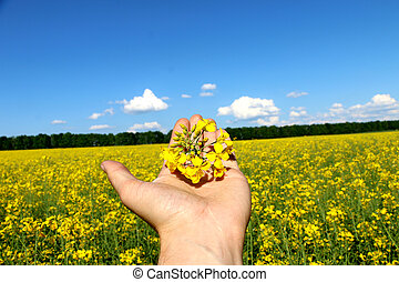 man holds in his hand a flower of rape
