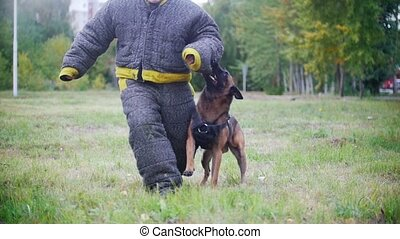 Man in a protective suit coaches his shepherd dog to attack....