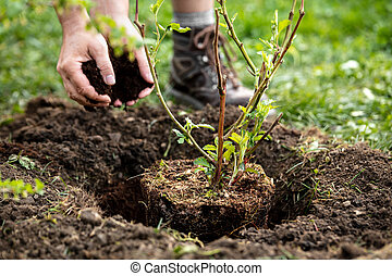 Man is planting a pot plant Rubus fruticosus into the garden, mulching and gardening