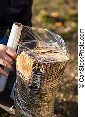 man is wrapping a beech tree stub with clear film, protection of a mycelial inoculated stump in a mushroom farm