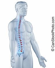 man, lateral, anatomi, ryggkota, isolerat, ställning, synhåll
