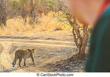 Man looking at a leopard walking on the road