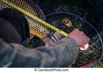 carp fish catched and being measured