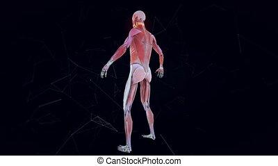 Man Musculature System v1 4k. High quality 4k footage