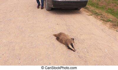 Man near dead badger on the road