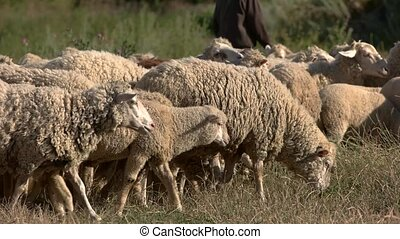 Man near herd of sheep