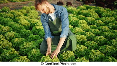 Man on Salad Plant Sunset - Young bearded male farmer in...