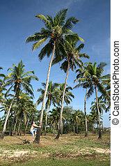 man on the coconut tree