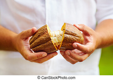 man opens ripe cocoa pod in hands, with beans inside