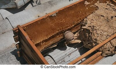 Man parses the nest of wasps. The European hornet Vespa...