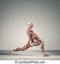 The muscular system - Man performs ground exercises. The ...