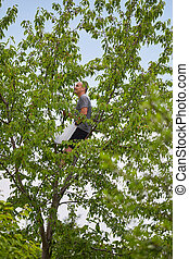 Man picking black wild cherries