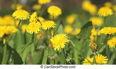 Man picking bouquet of yellow dandelions close-up
