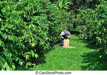man picking coffee beans in Hawaii