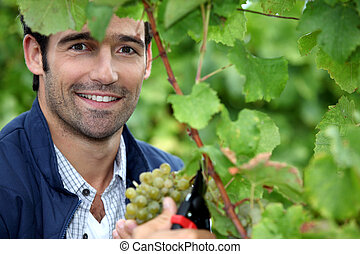Man picking grapes