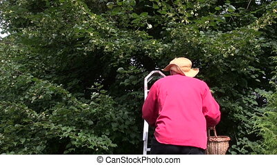 Man picking linden tree blossom