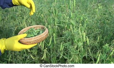 Man picking peas in wicker basket - Man gardener picking...