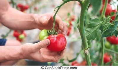 Man picking ripe tomatoes in greenhouse garden.