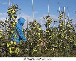 Man Picks Yellow Golden Delicious Apples In Dutch Fruit Orchard Holland