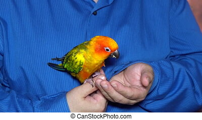 Man play with small cute parrot sit of hand - Man play with...