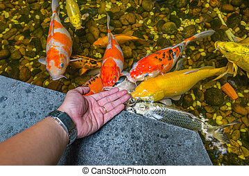 Man playing with Koi fish in the pond