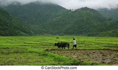 Man ploughing in rice paddy using oxen, Pokhara, Nepal