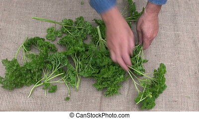 Man preparing to dry parsley - Man gardener preparing to dry...