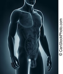 Man prostate anatomy - Male prostate anatomy