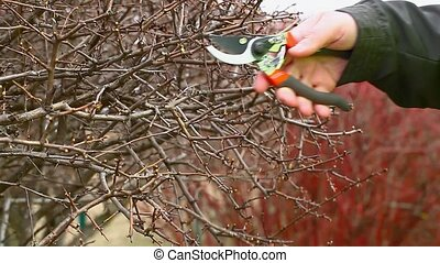 Man pruned bushes