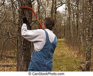 man pruning oak tree
