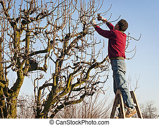 man pruning tree - young man pruning pear-tree brunches